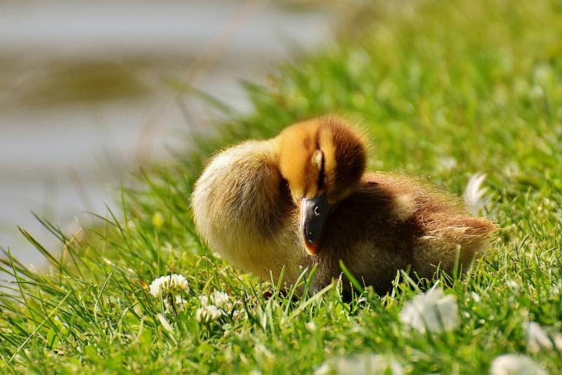 https___pixabay.com_en_chicks-ducklings-sleep-mallard-2426635_