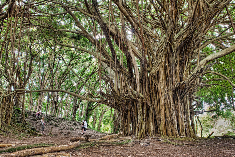 http://twistedsifter.com/2013/04/ancient-banyan-tree-big-island-hawaii/