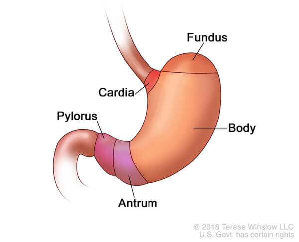 illustration of a human stomach