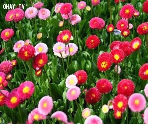 Hoa Cúc Áo - Hạnh phúc đơn chiếc, vui thầm,hoa ngữ,ngôn ngữ các loài hoa,hoa quả,hoa đẹp