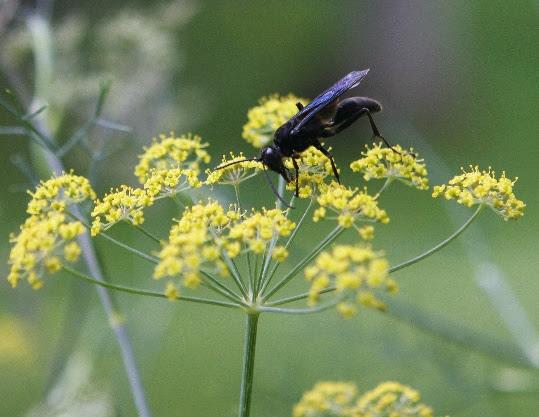 File:Sphex pensylvanicus fennel flower.jpg - Wikimedia Commons