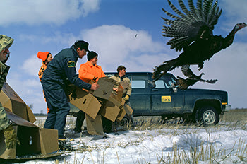 Al Stewart is shown among a group of workers releasing wild turkeys into the Michigan wilds.