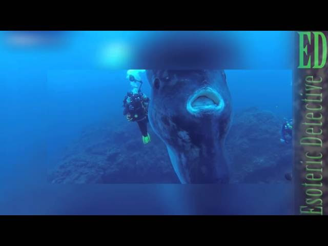 SUPER RARE moment MASSIVE SUN FISH (MOLA MOLA) is CAUGHT ON CAMERA by drivers 2016 (Mola Mola)  Sddefault