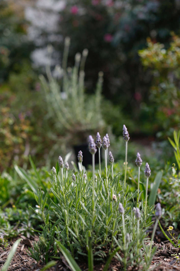 L. dentata, which is often labeled as gray French lavender at plant nurseries, has gray-green foliage with prominent dogtooth margins.