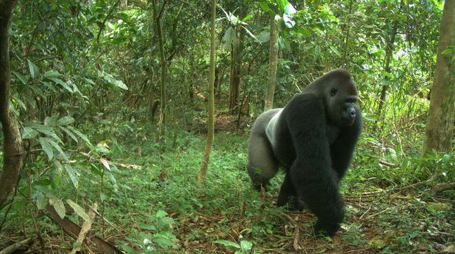 Gorila en Cross River