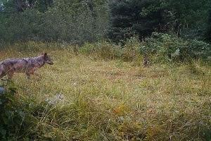 trail cam wolf photo