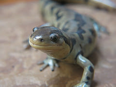 Titus the Tiger Salamander