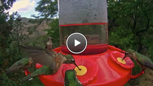 Watch the West Texas hummingbird cam.