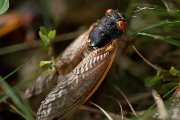 A cicada walks through the grass in Bloomington, Indiana on May 21, 2021.