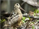 woodcock in natural habitat