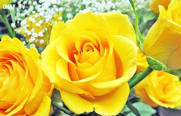 Hoa hồng vàng - Một tình yêu cao sang, rực rỡ (Đôi khi mang ý nghĩa, mong muốn cắt đứt quan hệ),hoa ngữ,ngôn ngữ các loài hoa,hoa quả,hoa đẹp