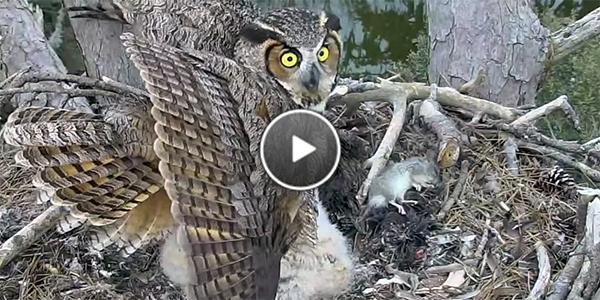 The female Great Horned Owl defends her nestlings from a threat.