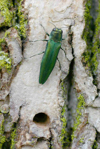 EAB adult with D-shaped exit hole