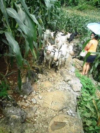 Sharing the path with a herd of goats
