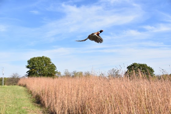 A ring-necked pheasant takes flight at Goose Lake State Wildlife Area.