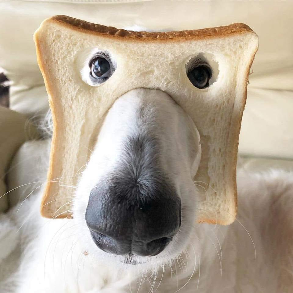 White dog with piece of white bread on face, with holes cut out for nose and eyes
