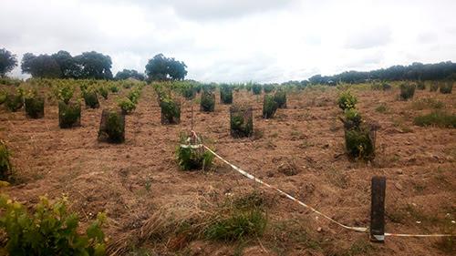 Viñas en Cenicientos comidas por la fauna salvaje a pesar de la protección que colocan los agricultores. Foto: UPA