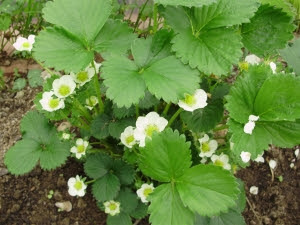 Perpetual Strawberry 'Albion' in tunnel
