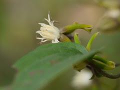 Clematis hedysarifolia