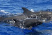 false killer whales