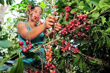 Midagri: Producción nacional de café alcanzaría las 391.650 toneladas, lo que representaría un incremento de 5%