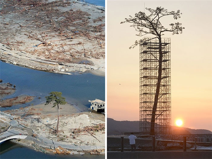 The Only                                                          Tree That                                                          Survived The                                                          Tsunami In                                                          Japan Between                                                          70,000 Trees.                                                          Today                                                          Protected And                                                          Restored