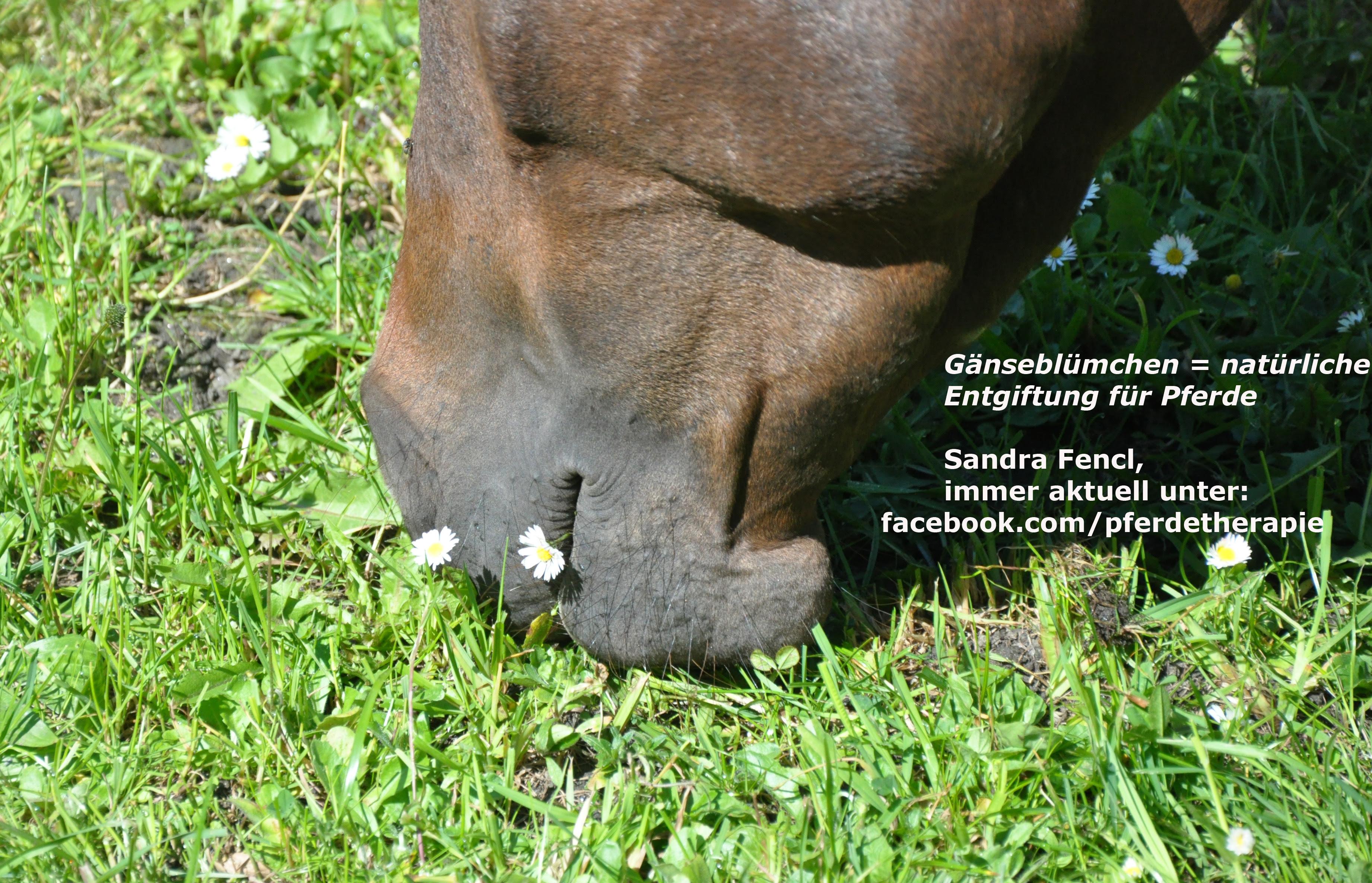Gänseblümchen - natürliche Pferde-Entgiftung