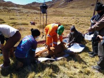 Comuneros de Marancocha reanudan la esquila de vicuñas con nuevo protocolo