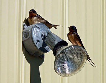 Barn Swallows on light