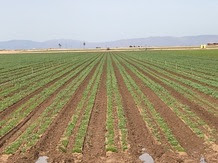 Photo: New growth of planted crop rows in Brawley