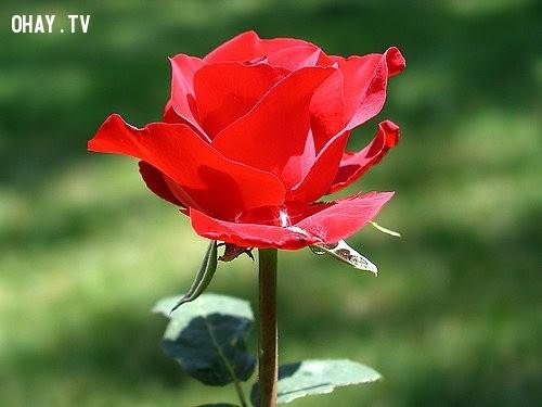Hoa hồng đỏ - Tình yêu nồng nàn, tha thiết,hoa ngữ,ngôn ngữ các loài hoa,hoa quả,hoa đẹp