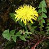 Ταραξάκο το φαρμακευτικό (Taraxacum officinale)