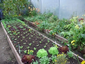 Winter salads following tomatoes - strawberries, 'Flame' grapes and yellow courgettes in side bed