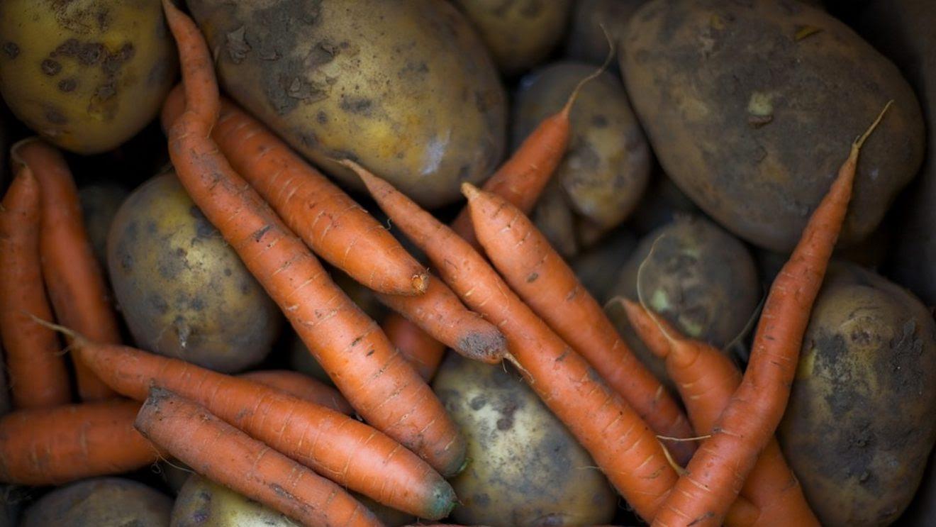 Energy Crisis becomes a Food Crisis – Grow Food and Build Local Food Systems Now! Potatomain-1320x743