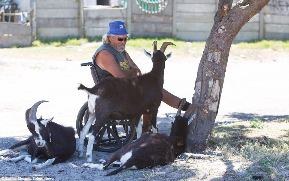 A man sits in a wheelchair, surrounded by three goats, as he takes shelter under a tree from the boiling hot sun