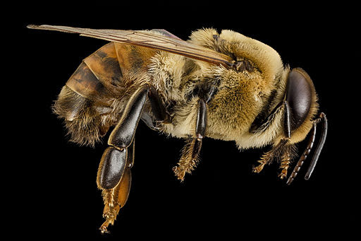 Honeybee drone, m, side, MD, pg county 2014-06-19-18.02.13 ZS PMax (14466470971)