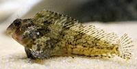 Feather blenny