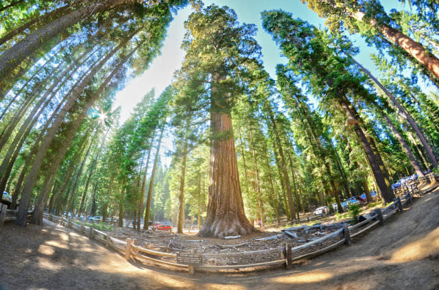 Sequoias Are Impossible to Miss!
