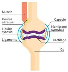 Schéma Articulations