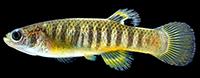 Spotfin killifish
