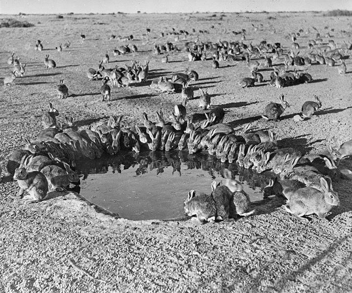 File:Rabbits MyxomatosisTrial WardangIsland 1938.jpg