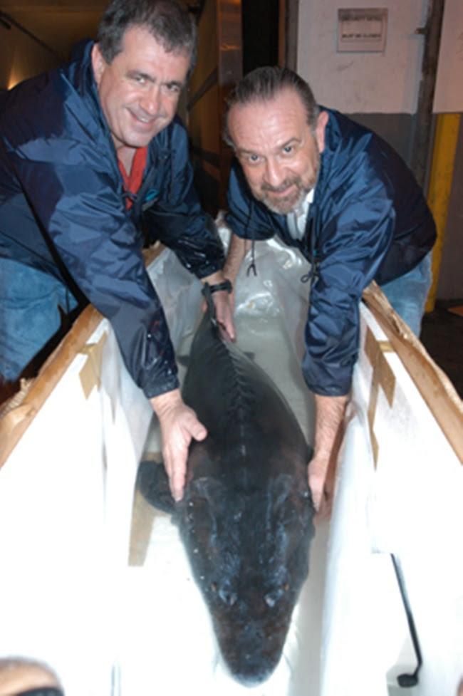 Sở dĩ có lệnh cấm này do cá tầm beluga được xếp vào loài cực kỳ nguy cấp cần được bảo vệ.
