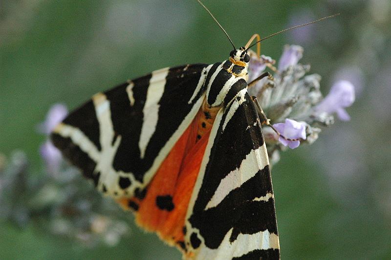 File:Jersey Tiger Moth.JPG