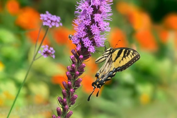 Easter tiger swallowtail butterfly on blooming blazing star