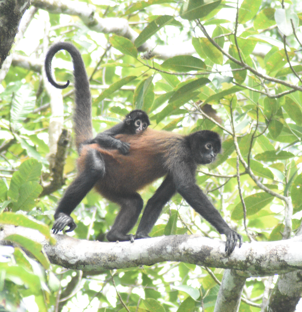 Female spider monkey walking on branch with baby on back