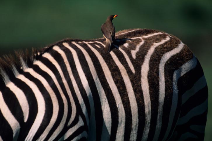 A zebra with a bird on top