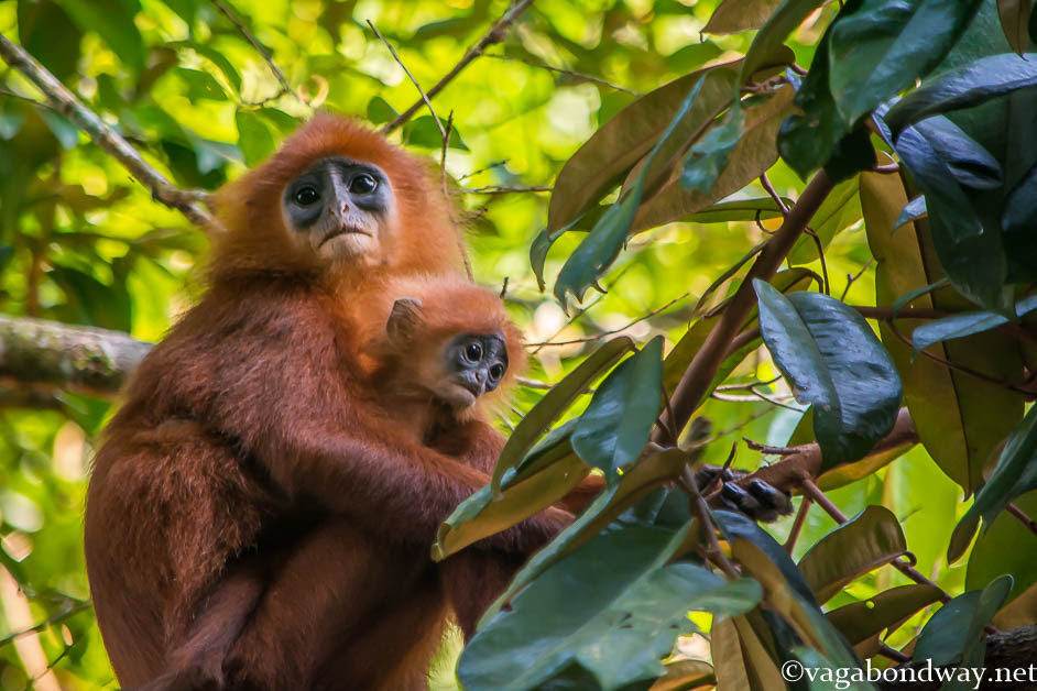 red-leaf-monkey-kinabatangan-borneo