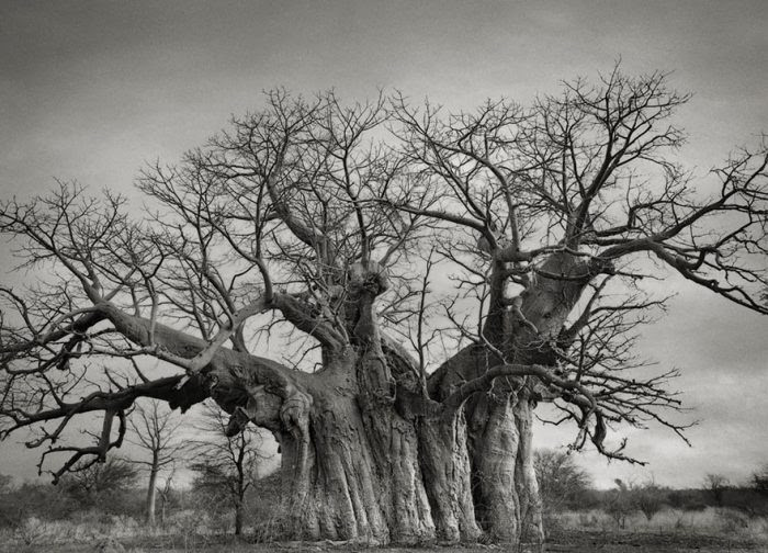 "Beth Moon, a San Francisco photographer, spent 14 years travelling to capture the breath-taking photographs in the book ""Ancient Trees: Portraits Of Time""."