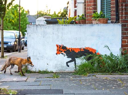 Fox Meets Fox. ©Matthew Maran