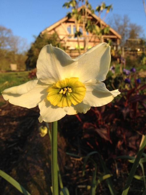 Narcissus 'Sinopel'